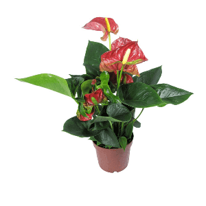 Заказ комнатных цветов барнаул букет из 1 розы купить